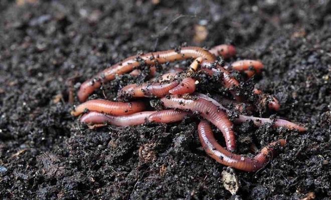 Какие черви лучше для рыб ловли и как их выращивать?